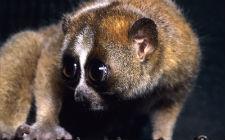 Nycticebus pygmaeus (foto: Wikimedia Commons)