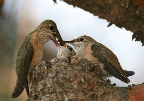 Kolibri (Selasphorus calliope) hrani potomke (foto: Wikimedia Commons)