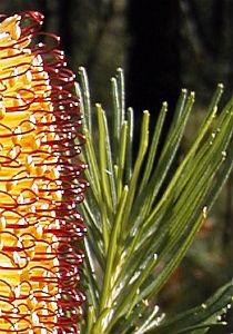 Banksia spinulosa, karakteristična za istočnu Australiju (foto: Wikimedia Commons)