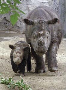 Sumatranski nosorog, Dicerorhinus sumatrensis (foto: Wikimedia Commons)