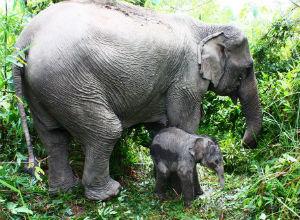Azijski slon, Elephas maximus (foto: Wikimedia Commons)