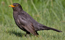 Kos, Turdus merula (foto: Wikimedia Commons)
