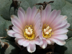 Pejotl za vrijeme cvatnje (foto: Wikimedia Commons)