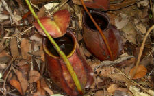 Nepenthes bicalcarata (foto: Wikimedia Commons)