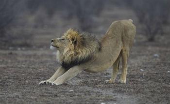 Lav, Panthera leo (foto: Wikimedia Commons)