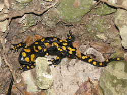 Pjegavi daždevnjak, Salamandra salamandra (foto: Wikimedia Commons)