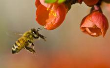 Pčela, Apis sp. (foto: Wikimedia Commons)
