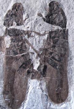 Fosil kukaca tijekom kopulacije (foto: Li S. i sur.)