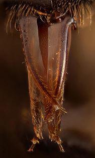 Usni organi pčele (foto: Wikimedia Commons)