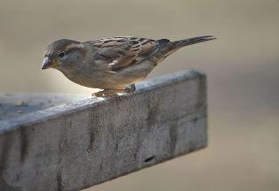 Vrabac (foto: Wikimedia Commons)