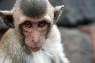 Macaca fascicularis (foto: Wikimedia Commons)