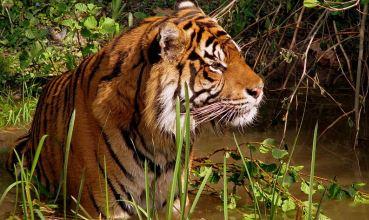 Tigar, Panthera tigris (foto: Wikimedia Commons)