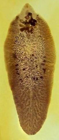 Metilj Fasciola hepatica (foto: Wikimedia Commons)