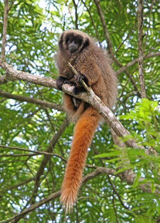 Titi majmun, Callicebus nigrifrons (foto: Wikimedia Commons)