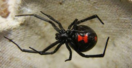 Ženka crne udovice (foto: Wikimedia Commons)