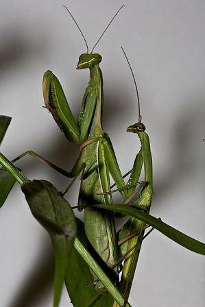 Parenje mužjaka i ženke bogomoljke (foto: Wikimedia Commons)