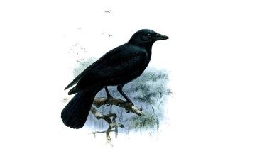 Vrana Corvus moneduloides (foto: Wikimedia Commons)