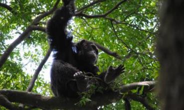 Čimpanza u krošnji drveta C. alexandri (foto: David Samson)