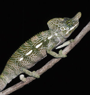 Furcifer labordi (foto Wikimedia Commons)