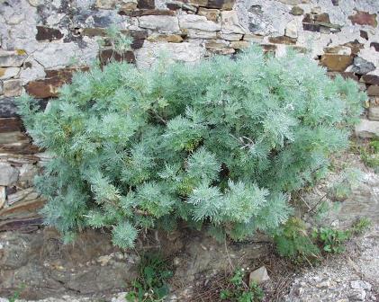 Artemisia arborescens (foto: Wikimedia Commons)