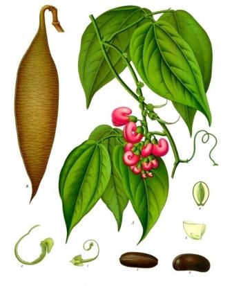 Mahunarka Physostigma venenosum (izvor: Wikimedia Commons))