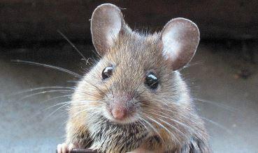 Šumski miš, Apodemus sylvaticus (foto: Wikimedia Commons)