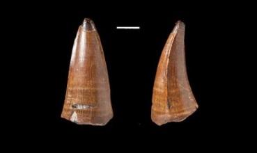Fosil zuba vrste Dakosaurus maximus (foto: Mark Young i Lorna Steel)