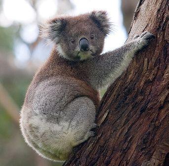Koala (foto: Wikimedia Commons)