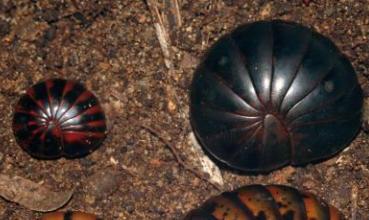 Sphaeromimus musicus (foto: Wesener 2007)