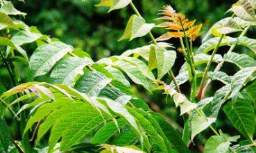 Pajasen, Ailanthus altissima (foto: Wikimedia Commons)