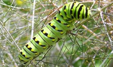 Gusjenica vrste Papilio polyxenes (foto: Wikimedia Commons)