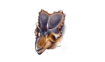 Mercuriceratops gemini (ilustracija: Danielle Dufault)