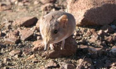 Macroscelides micus (foto: Galen Rathbun/California Academy of Sciences)