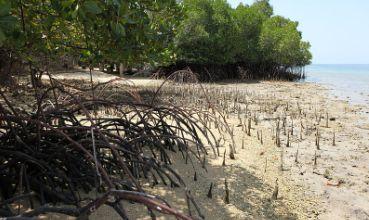 Mangrove vegetacija (foto: Wikimedia Commons)