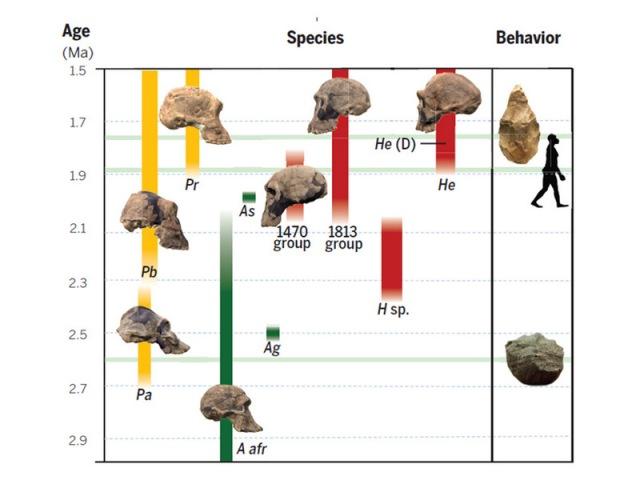 Rana evolucija hominina (foto: Antón et al., Science/AAAS 2014)