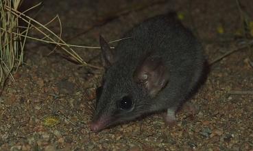 Phascogale calura (foto: Wikimedia Commons)