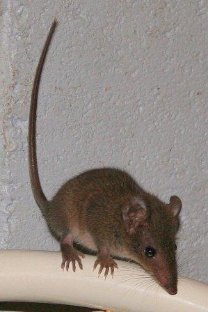 Antechinus stuartii (foto: Wikimedia Commons)