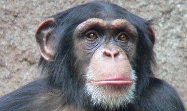 Čimpanza (foto: Wikimedia Commons)