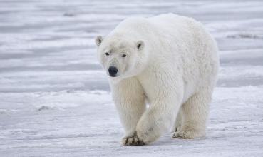 Polarni medvjed, Ursus maritimus (foto: Wikimedia Commons)