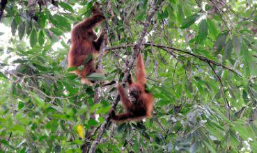 Orangutani (foto: Wikimedia Commons)