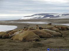 Morževi na plaži (foto: Polar Cruises / Flickr)