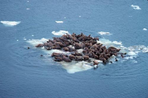 Morževi na ostacima ledenjaka (foto: NOAA / Wikimedia commons)