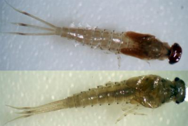 Ličinka vrste Labiobaetis soldani (foto: Entomological Society of America)