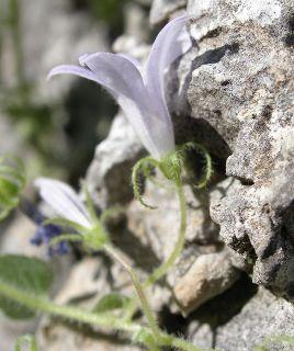 Campanula skanderbegii (foto: Sandro Bogdanović)
