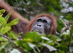 Sumatranski orangutan (foto: Perry van Duijnhoven / iDiv)