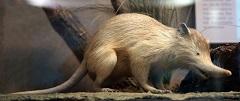 Solenodon paradoxus (foto: Wikimedia Commons)