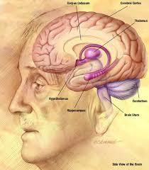ljudski mozak (foto: wikipedia.com)