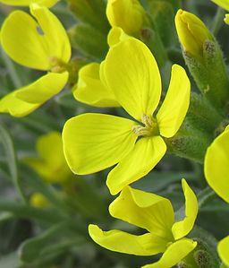 Fibigia triquetra (foto: Alex Hauner, commons.wikimedia.org)