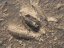 Mumificirana ptica pod slojem osušene nafte (foto: Aljavad, creativecommons.org)