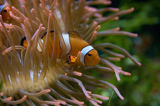 riba klaun sakrivena u vlasnjači (foto: Christian Mehlführer, commons.wikimedia.org)